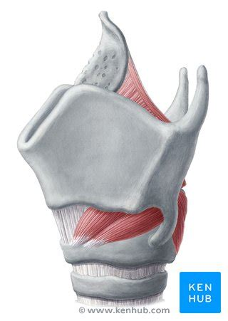 muscles   larynx anatomy function diagram kenhub