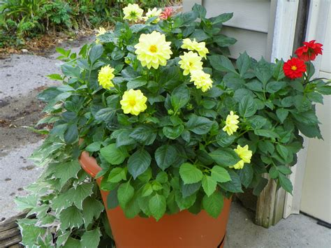 plant dahlias in pots hello dahlia don t delay another day to discover this of the late summer fall garden