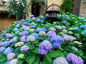 Hydrangea Macrophylla Winterhart : the graceful gardener blue wave hydrangea ~ Michelbontemps.com Haus und Dekorationen
