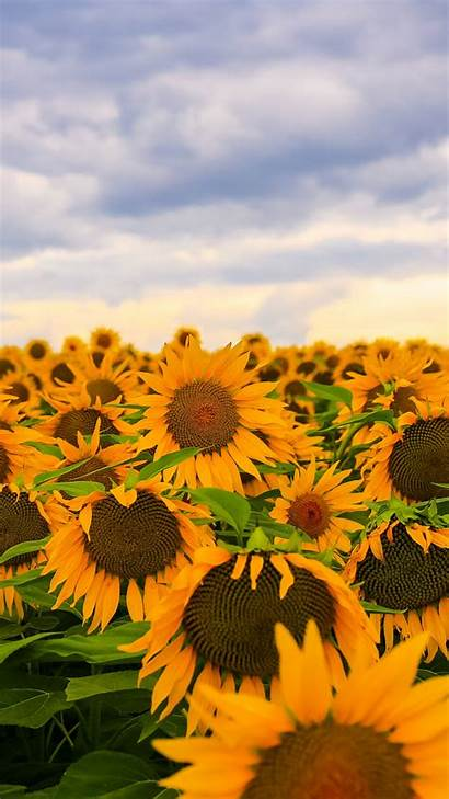 Sunflower Sunflowers Backgrounds Phone Iphone Wallpapers Field