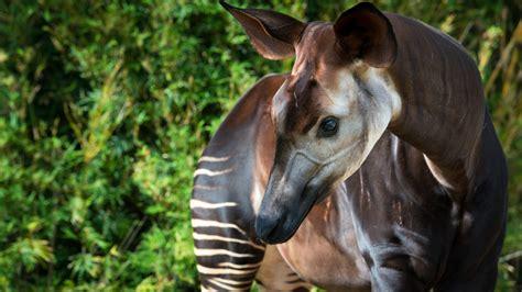 okapi animals zoo animal rare houston found