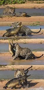 Jaguar Vs Lion - Battles - Comic Vine