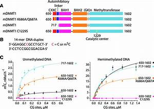 Efficiency Of Unmethylated And Hemimethylated Dna M5c