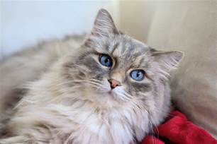 hair cat breeds 12 domestic haired cat breeds what you need to