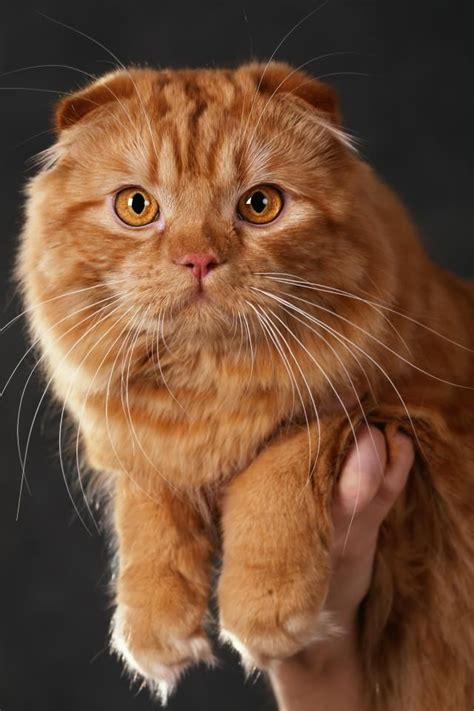 Lovely Scottish Fold Cat Koty Do Zjedzenia 2