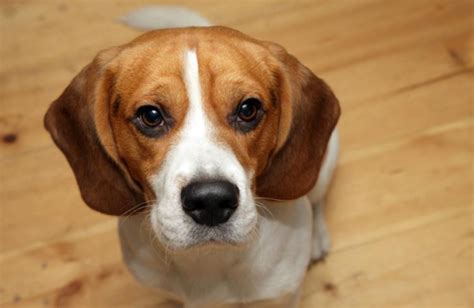 beagle tout sur la race de chien beagle