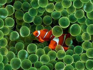 Reef Aquarium Fact 2 Clownfish And Sea Anemones Live In A