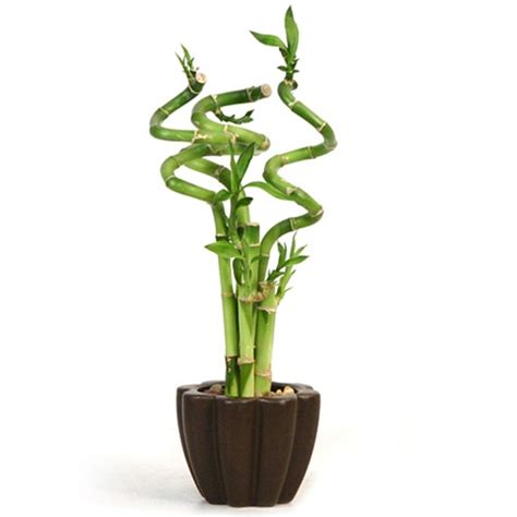japanese bamboo plant care bamboo office accessories lucky bamboo care indoor japanese lucky bamboo plant interior