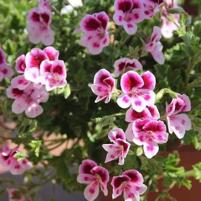 care of pelargoniums top 28 care of pelargoniums how to grow and care for geranium love the garden prince of
