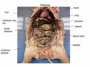 Fetal Pig Practical
