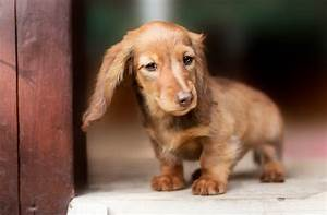 Top 10 Best Miniature Dog Breeds