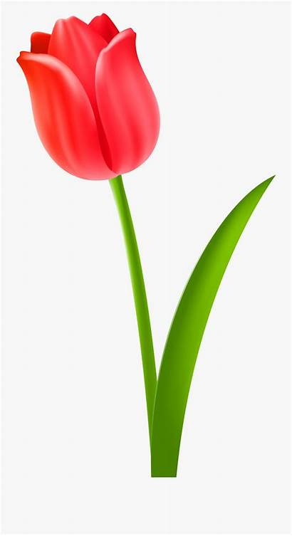 Tulip Clipart Flower Clipground Clipartkey