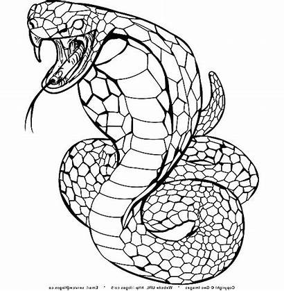 Cobra Snake Coloring King Pages Drawing Spitting