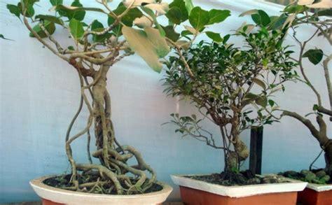 Bonsai Baum Pflanzen by Bonsai Baum Pflege Bonsai Baum Kaufen Und Richtig Pflegen