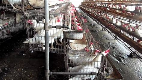 factory farming  chickens  india youtube
