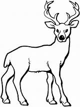 Deer Coloring Pages Mule Drawing Buck Animal Animals Clipartmag Colors Recommended sketch template