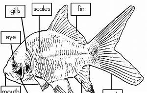 Mrs  I U0026 39 S Class  Label The Parts Of A Fish  Freebie
