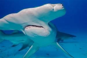 Florida's Hammerhead Sharks Suffer Severe Population ...
