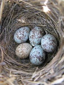 Four pale blue speckled song sparrow eggs and one Brown ...