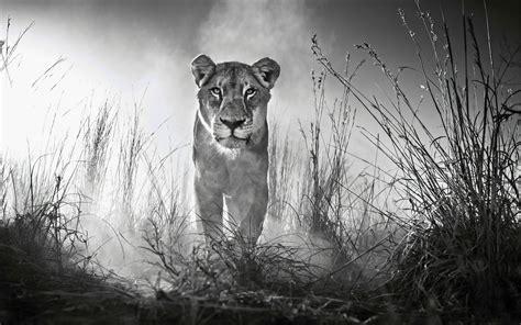 wallpaper lioness female lion  animals