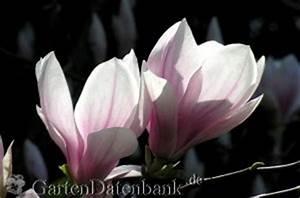 Magnolie Blüht Nicht : magnolie tulpenmagnolie schneiden pflege magnolia x soulangeana syn magnolia soulangiana ~ Buech-reservation.com Haus und Dekorationen