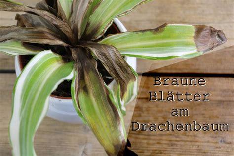 braune spitzen zimmerpflanzen drachenbaum bekommt braune bl 228 tter und spitzen was tun