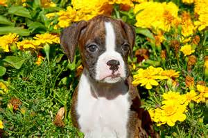 Boxer Puppies with Flowers