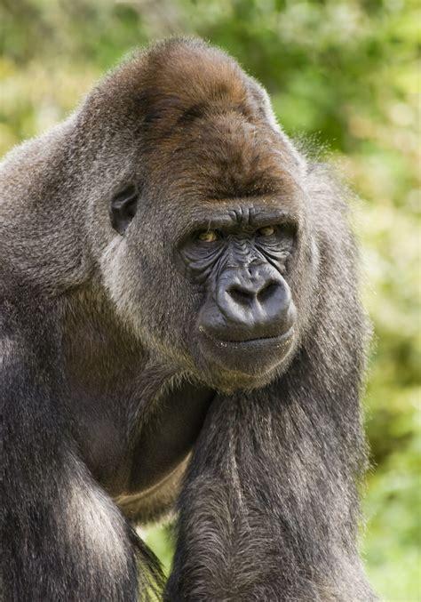 angry gorilla jurassic parliament