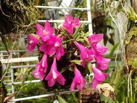Dendrobium cuthbertsonii | Orchids Forum