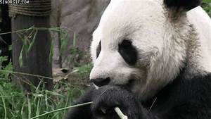 Pandas Bamboo GIF by Cheezburger - Find & Share on GIPHY