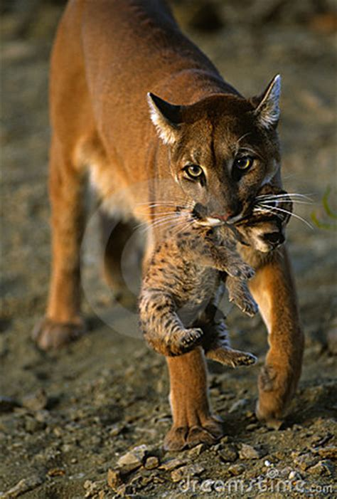 mountain lion carrying kitten stock photography image