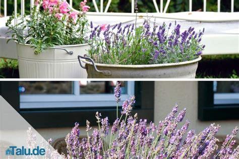 Lavendelpflege In Garten Und Topf Talude