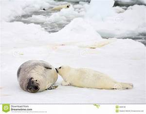 Mother Harp Seal Cow And Newborn Pup Stock Photo - Image ...