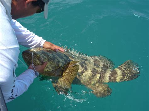 jewfish grouper goliath fish florida fishing silly eat keys young feisty creatures fabulous catcher bad rosie they