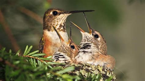 how long do hummingbirds live reference com