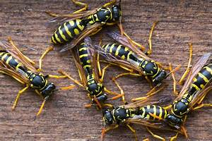 Easy Ways To Get Rid Of Wasps And Hornets