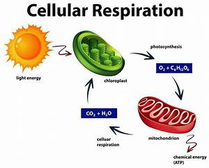 Diagram Showing Cellular Respiration