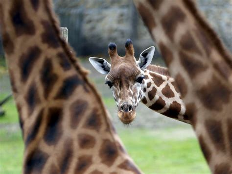 The brutal, ridiculous way giraffes fight - GreenwichTime