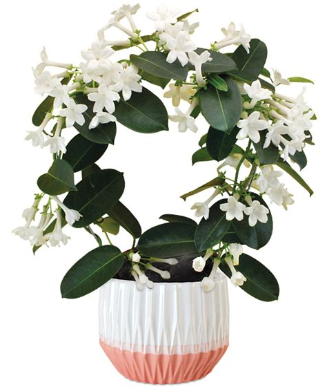 Fragrant Jasmine Plant  Calyx Flowers, Inc