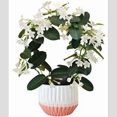 Fragrant Jasmine Plant  Calyx Flowers, Inc