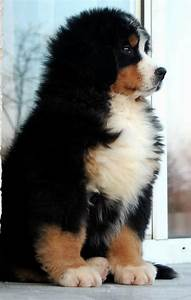 Bernese Mountain Dog puppy | All Creatures | Pinterest