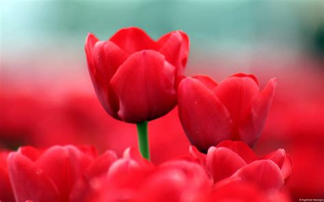 red tulips wallpapers hd wallpapers id