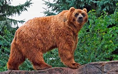 Kodiak Bear Aveek Blogs