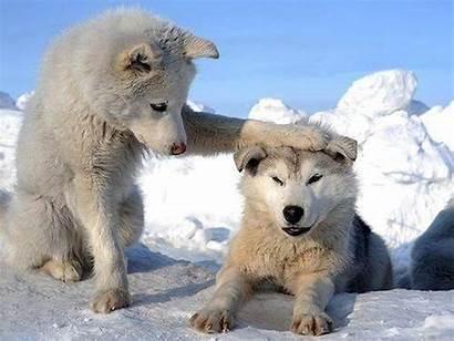 Friends Animals Friend Animal Funny Wolf Snow