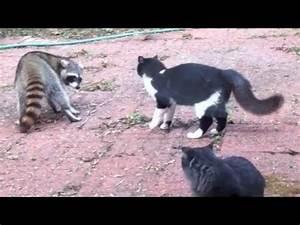 Cat vs Raccoon - YouTube