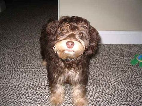 pinny poo miniature pinscher poodle mix information