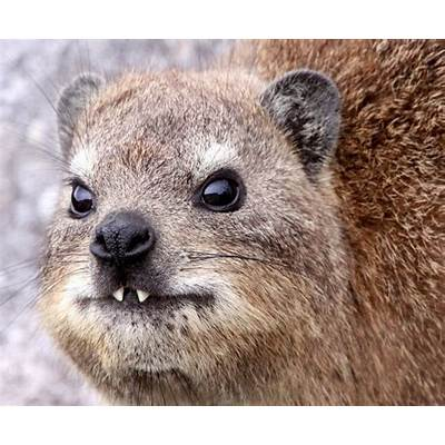 Hyrax Facts History Useful Information and Amazing Pictures