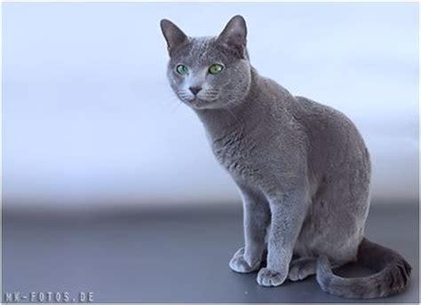 russisch blau katzen aus berlin zarensilber russisch