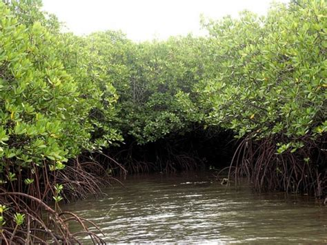 Mangroves Their Benefits To People And The Environment