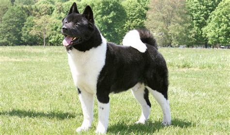what months do akitas shed akita breed information